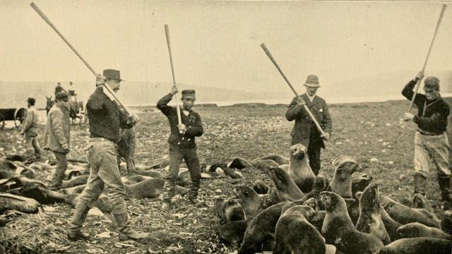 Убийство нерп. 1890-е