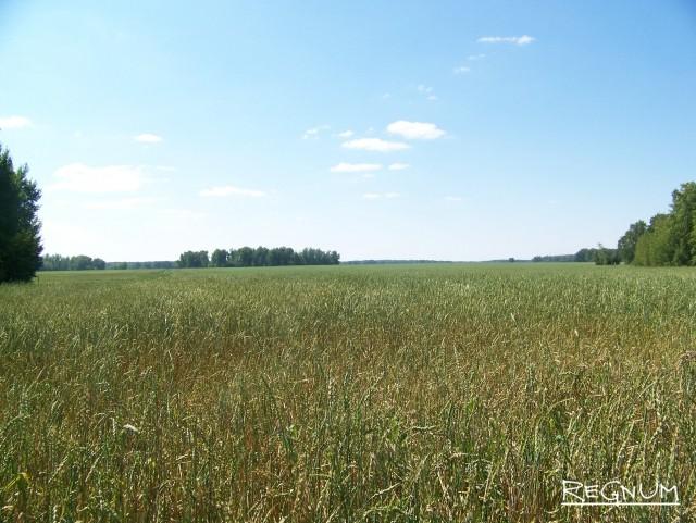 Пшеничное поле, пострадавшее от погодных катаклизмов. Алтай