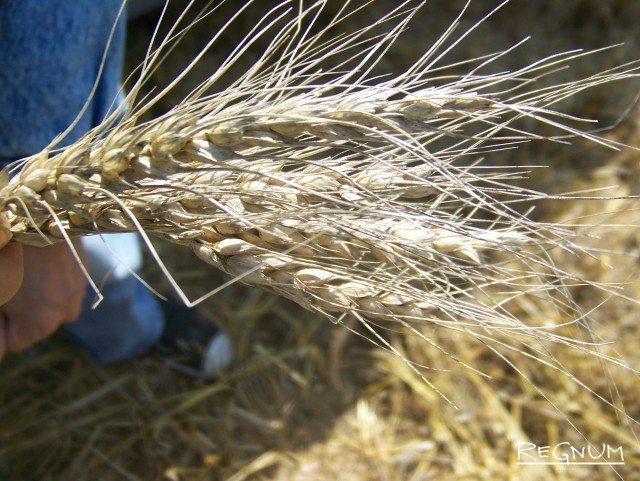 Алтайская пшеница уродилась, но не нужна никому