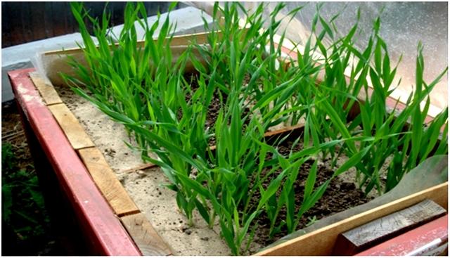 Растения, посеянные в канавку с песком