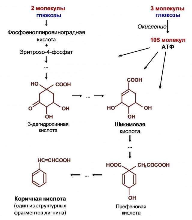 Рис. 9. Синтез структурного фрагмента лигнина в растении