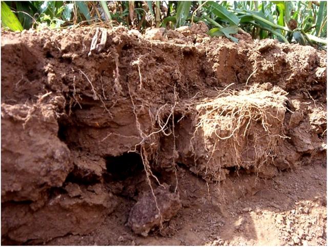 Рис. 3. Вид плужной подошвы от тяжелых тракторов. На разрезе почвы видно, как корни растут горизонтально вдоль границы уплотнения