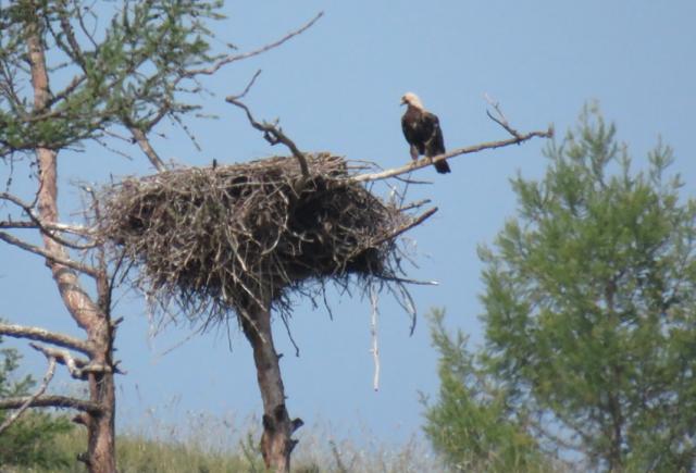 Хищных птиц Прибайкалья выживают двуногие «хищники»