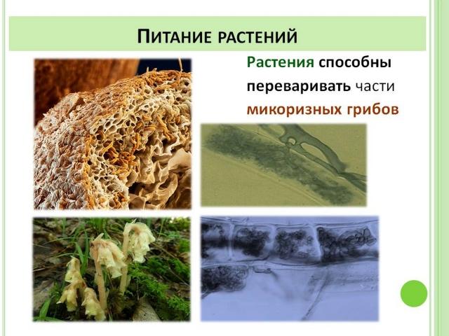 Растения способные переваривать части микоризных грибов