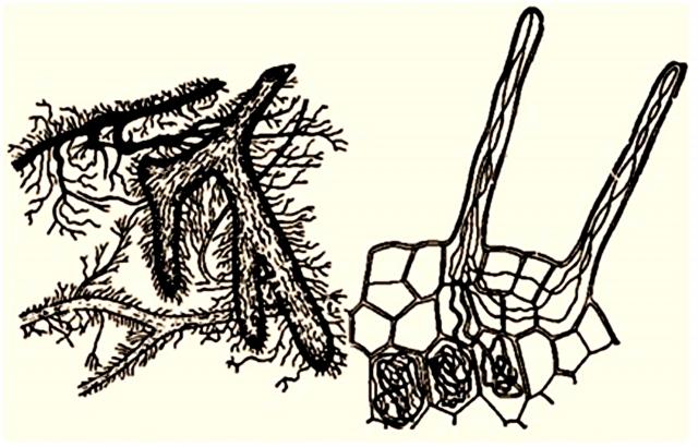 Слева — эктомикориза; справа — эндомикориза