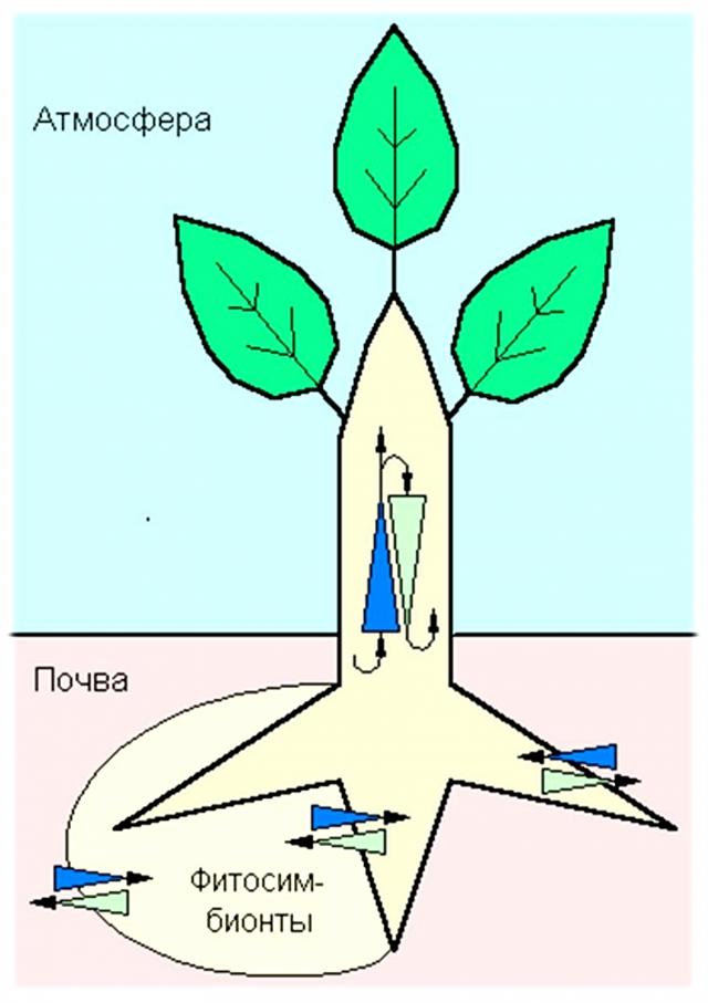 Важный фактор продукционного процесса — скорость перемещения питательных веществ между корнями и листьями