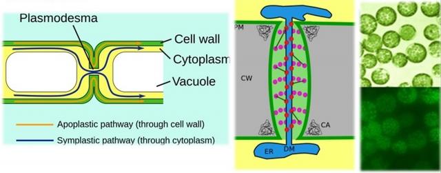 Пути межклеточных связей клеток растений