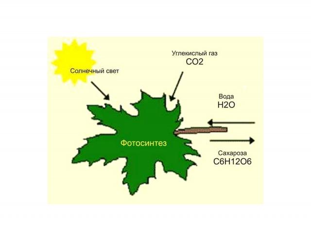 Лимитирующие факторы фотосинтеза
