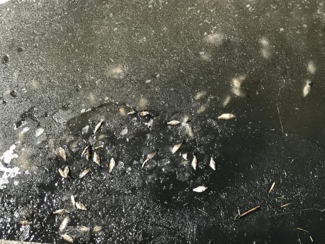 В одной из речек Петербурга массово дохнет рыба