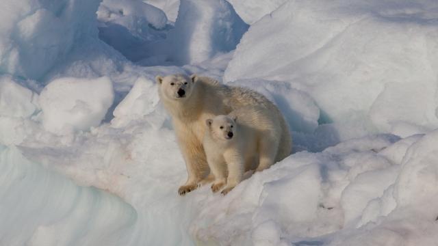 Медведи в Арктике