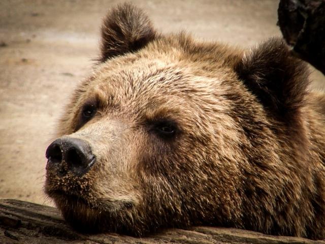 Мнение: бурого медведя в Красную книгу России включать не нужно