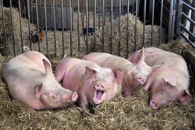 Мозг свиньи смог прожить без тела 36 часов