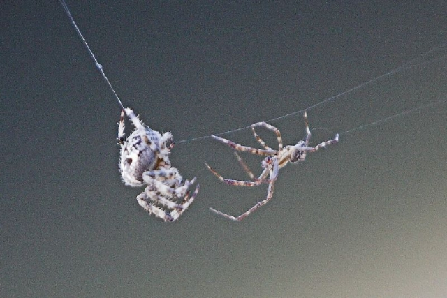 Борьба пауков