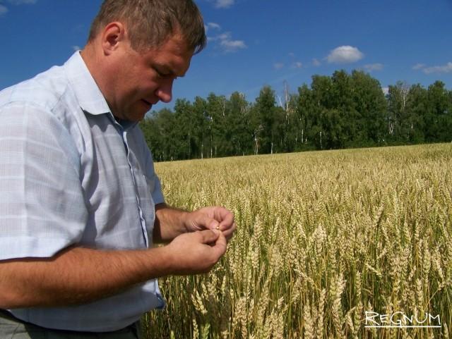 Урожай озимой пшеницы. Алтайский край