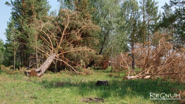 Иркутская область. Тонкомерный лес был просто спилен – и брошен на месте, даже не свезен в штабеля