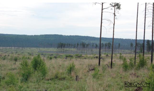 Спелые насаждения знаменитой ангарской сосны в некоторых районах Иркутской области почти уничтожены