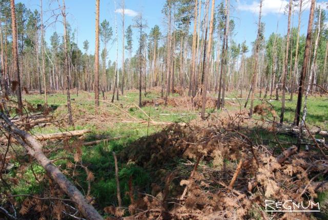 Именно в КНР уходит львиная доля вырубленной Сибирской тайги