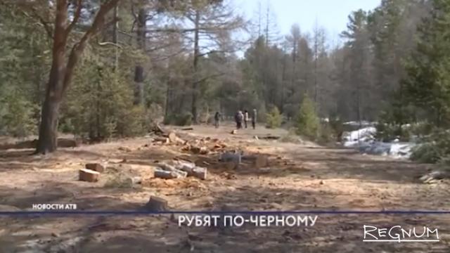 Бурятия, пос. Горячинск. Вырубка вековых кедров в водоохранной зоне Байкала