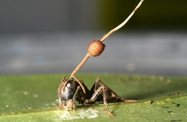 Учёные рассказали о грибках, способных превращать муравьёв в «зомби»