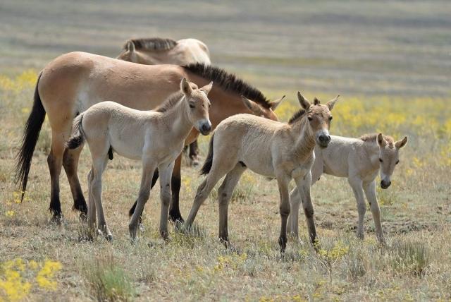 Первые жеребята лошади Пржевальского родились в Оренбургском заповеднике