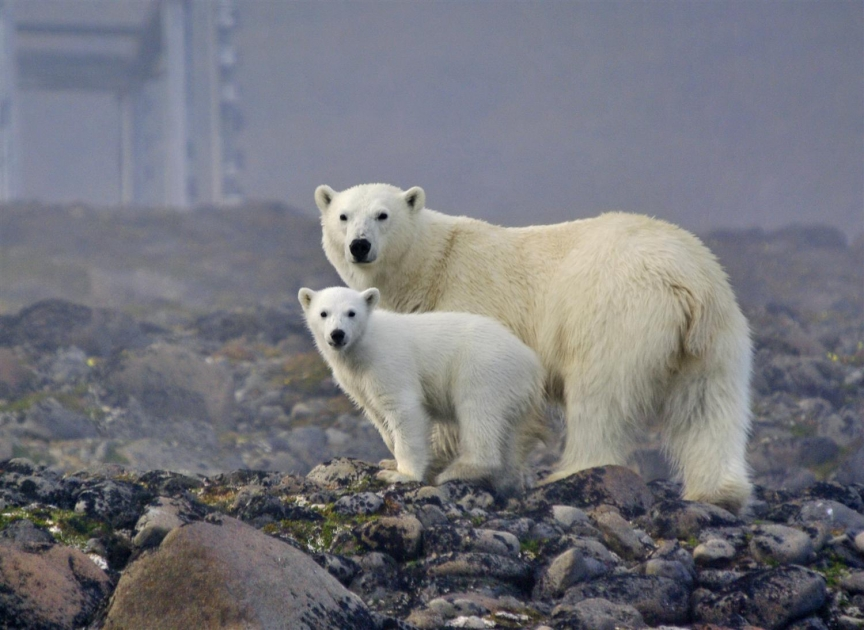 Белая медведица с медвежонком фото 5