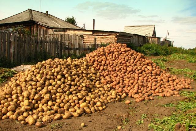 Дачнику на заметку: о «штрафах» за выращивание картофеля