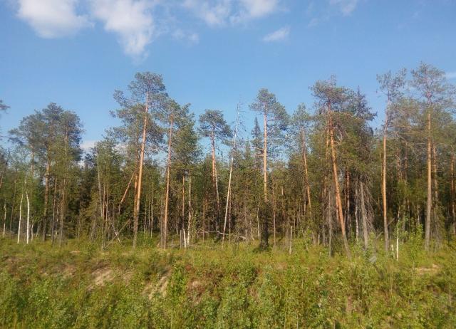 Лес в Сосногорском районе