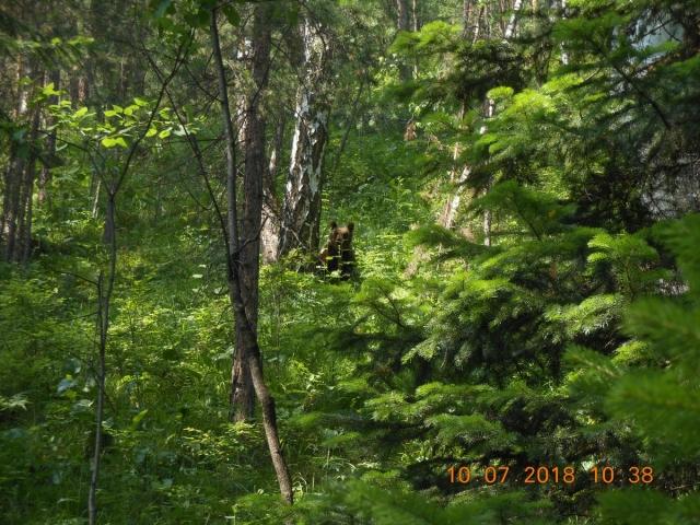 В красноярском заповеднике «Столбы» медведи всё чаще выходят к людям