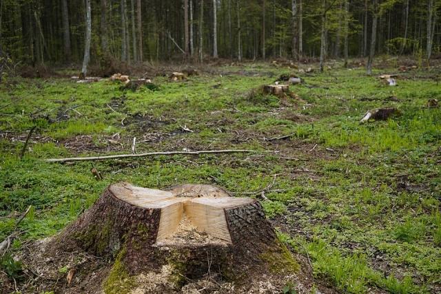 «Здесь творится абсолютное беззаконие»: в Красноярском крае вырубают лес
