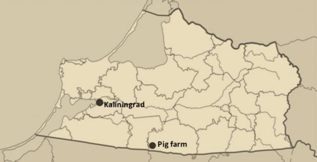 В Калининградской области чума свиней поразила фермы с норвежским капиталом