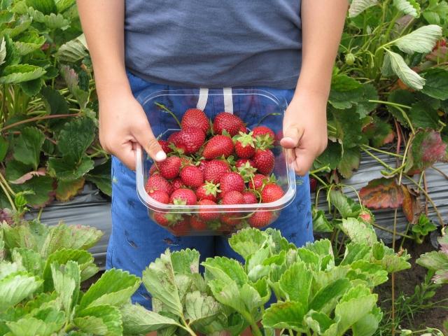Сбор ягод