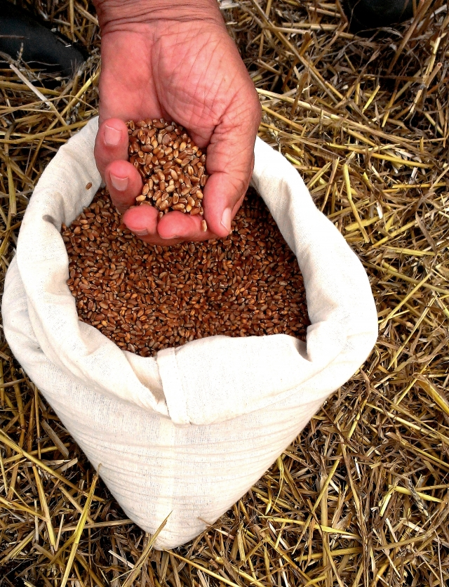 Зерно рекордного урожая, полученного без агрохимии