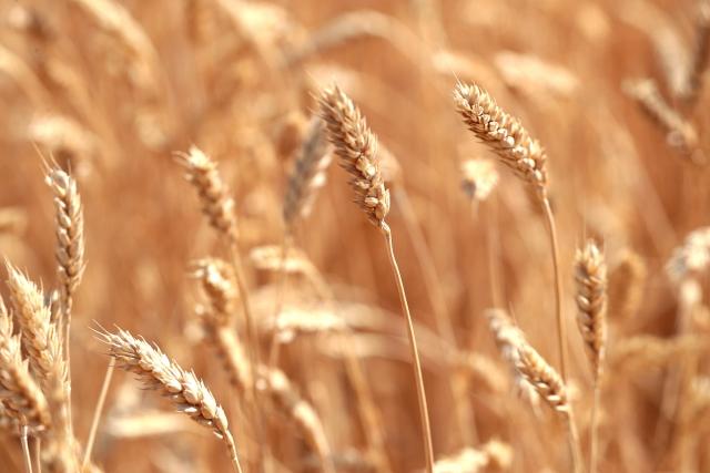 Пять районов Ростовской области завершили сбор урожая
