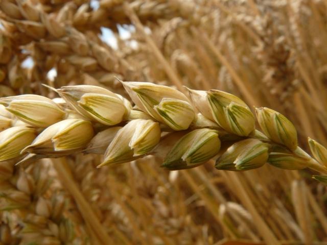 Новосибирскую область освободят от штрафов за неурожай зерна