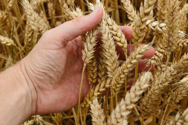 Урожай 900 тыс. тонн зерновых получили аграрии в Крыму