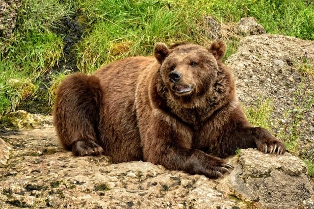 Голодные медведи не пускают на работу жителей села в Хабаровском крае