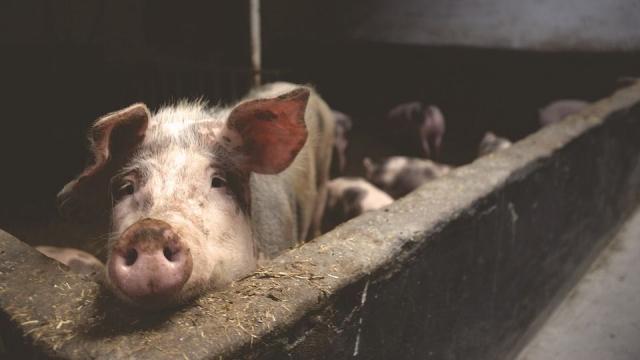 Литовским свиноводам заплатят деньги за отказ от деятельности