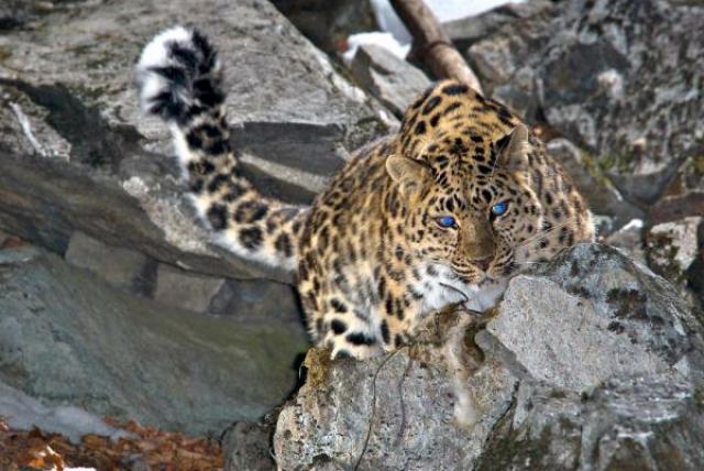 В Приморье в 2018 году появились еще четыре дальневосточных леопарда