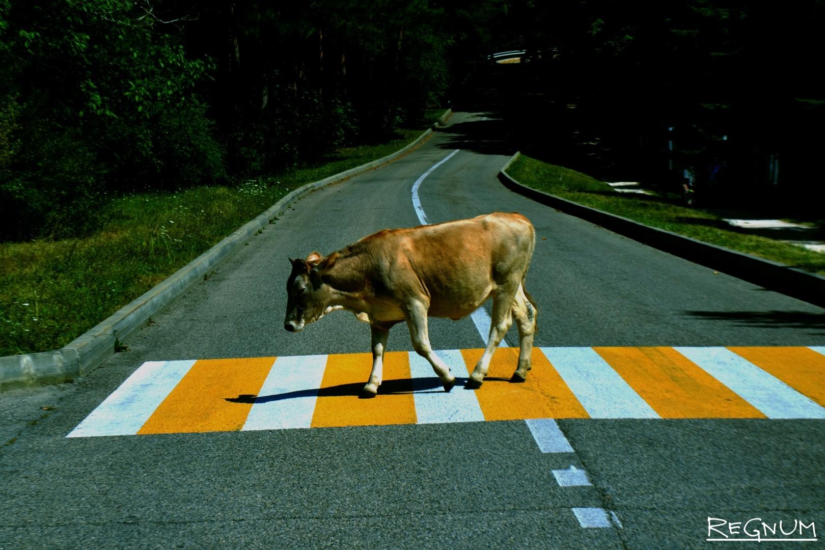 Корова на пешеходном переходе