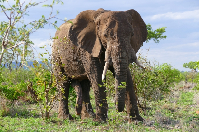 В Танзании к слонам прикрепят устройства обнаружения