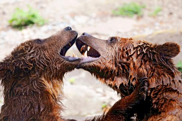 Два бодающихся медведя: торговая война Трампа с Китаем как форма бизнеса
