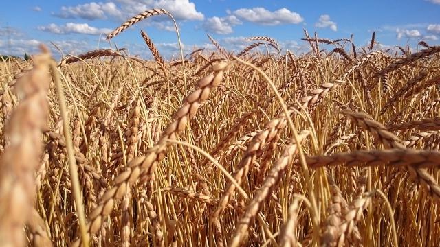 В США назвали рекордный урожай пшеницы в РФ угрозой американским фермерам