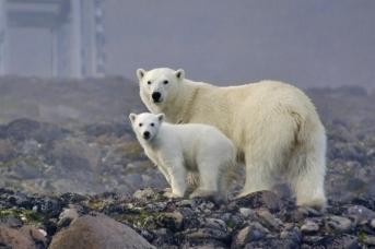 Белая медведица с медвежонком, о. Гукера, Земля Франца Иосифа. Фото: М. Иванов