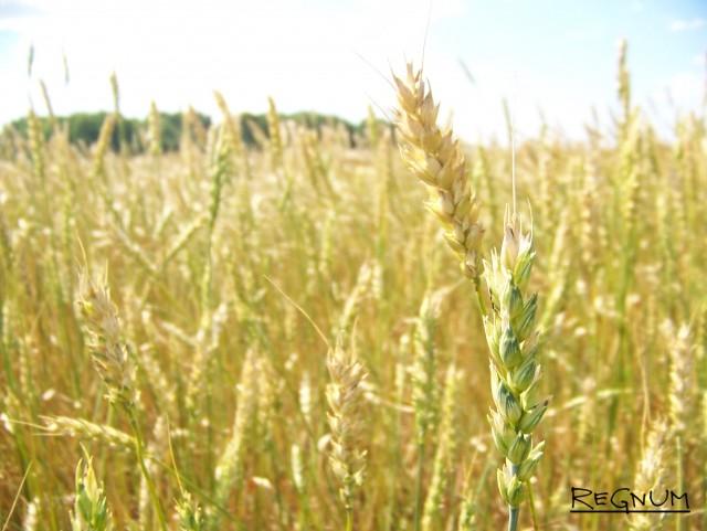Пшеница в колосе