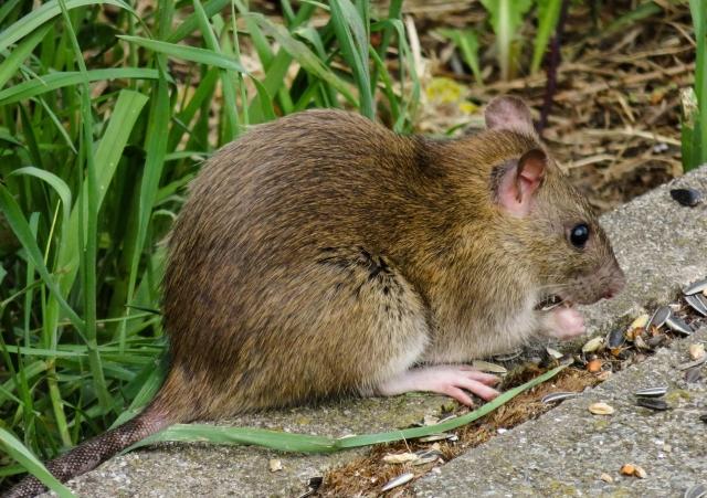 Мусорный коллапс в Челябинске привёл к нашествию крыс?