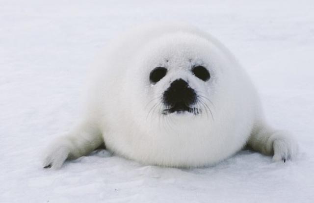 Белек тюленя