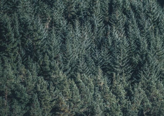 В Красноярском крае к Новому году заготовят тысячи хвойных деревьев