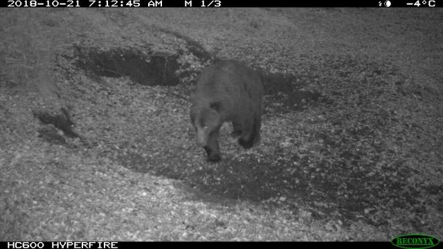 В красноярском заповеднике медведи легли в берлоги истощёнными