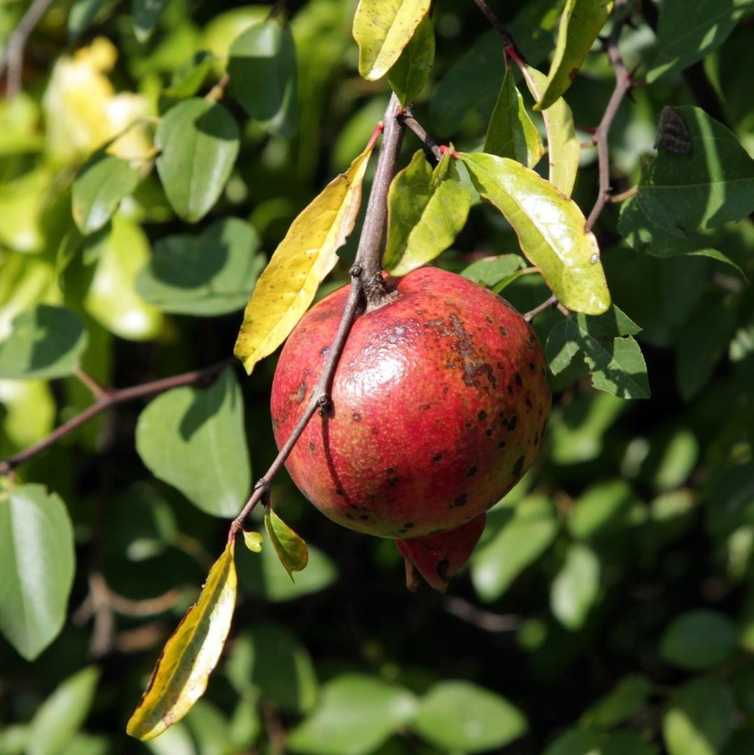 Южный фрукт