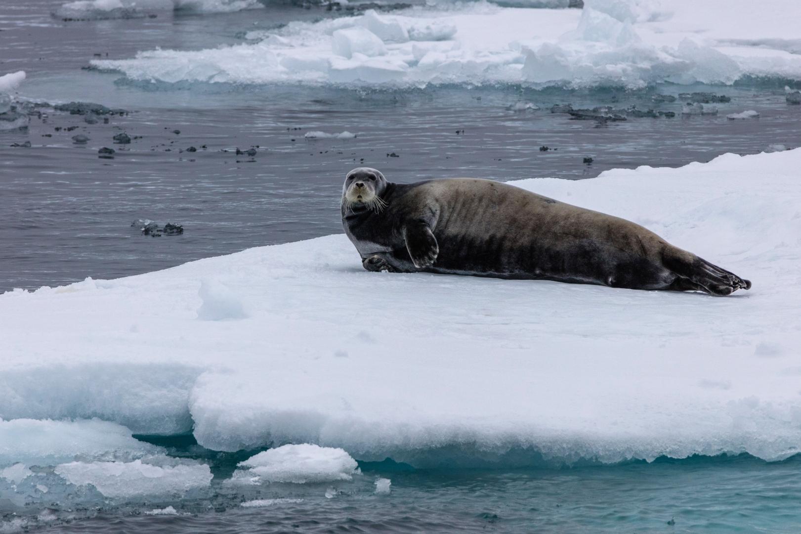 Коробка, картинки тюлень на льдине